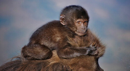Aper spontanaborterer med vilje