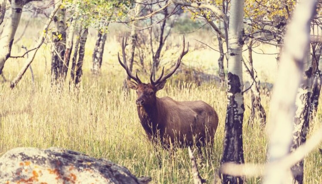 Deer are often given the blame for the increase in tick-populations, but new results suggests that there are other factors that are important for the increase. (Photo: Colourbox)