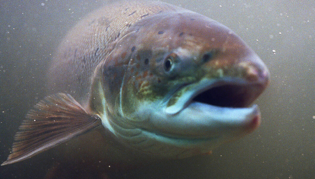 Norwegian salmon. (Photo: Colourbox)