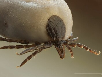 Ticks are much more of a threat than for instance polar bears. (Photo: Richard Bartz/Wikimedia commons.)