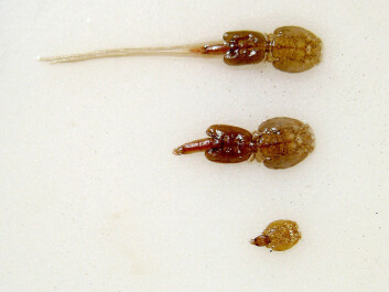Salmon lice. (Photo: Thomas Bjørkan/wikimedia commons)