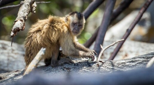 Aper flørter ved å kaste stein