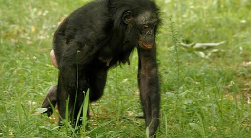 Bonoboen annonserer homosex