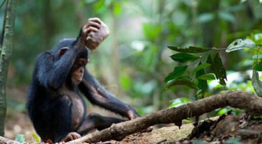 Sjimpanser knekker nøtter på sin egen måte