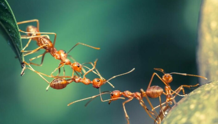 Ants make medicine out of tree sap and fungi