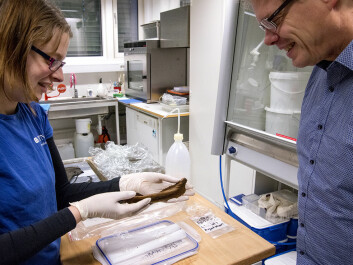 Ellen L.Wijgård Randerz (left) and Ulf Fransson, from the NTNU University Museum, look at a toy boat that archaeologists found in an abandoned well in Ørland. Randerz is the museum's conservator, and Fransson was one of the field directors for the Ørland dig. (Photo: Åge Hojem, NTNU University Museum)