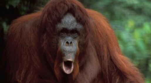 Orangutangen planlegger skogsturen