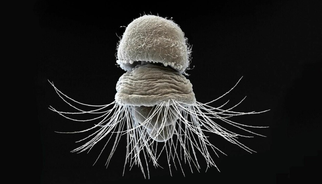 Scientists from SARS at The University of Bergen have discovered the first molecular evidence that the hard tissues of segmented worms, molluscs and brachiopods share a common origin. Pictured is a larva of Terebratalia transversa, under a Scanning Electron Microscope. Photo: SARS Centre, University of Bergen