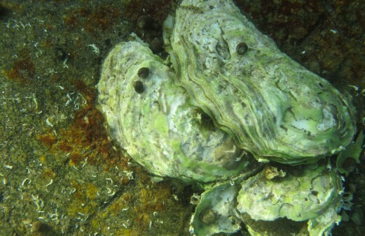 DNA analyses reveal secrets about the Pacific oyster