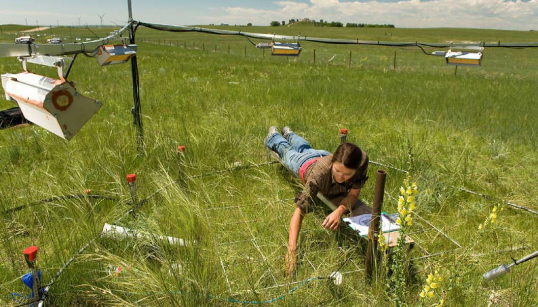 Forskeren Megan Nix i et forsøksfelt nær Cheyenne i Wyoming, USA. Resultatene viser at plantene vokser en uke lenger på grunn av økt CO2 i atmosfæren, framfor bare virkningen av global oppvarming. Steve Ausmus/Nature