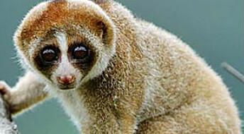 Ny ape med giftig bitt oppdaget