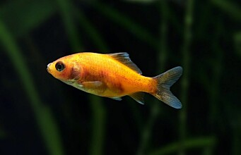 Goldfish produce alcohol to survive the winter