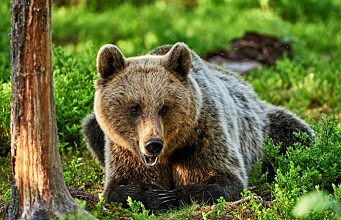 Bears skip breakfast to avoid hunters