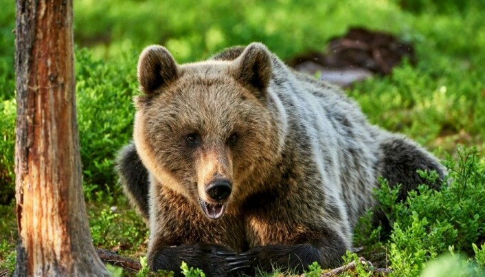 Bears skip breakfast to avoid hunters