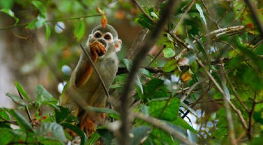 Mellomstore aper spiser mest frukt