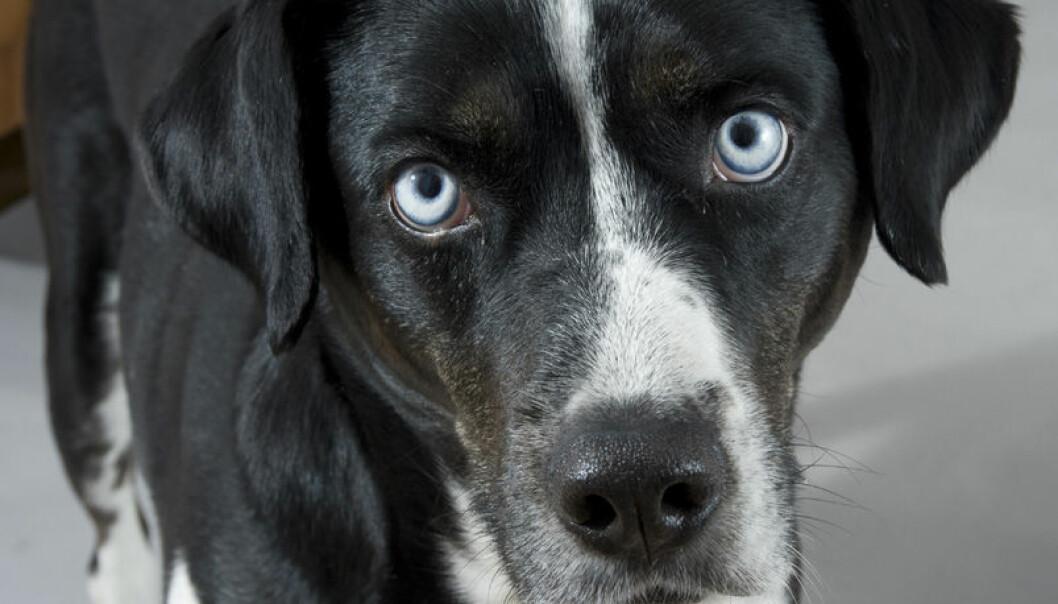 Terapihunder stresses ikke av pasienter hvis de får gå fritt, viser østerrisk studie. Gerhard Koller