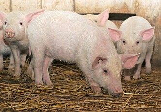 Can farm animals stomach new types of feed?