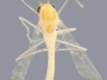 Tanytarsus heberti was named after Paul Hebert, the inventor of DNA barcoding. (Photo: Chironomid Working Group)