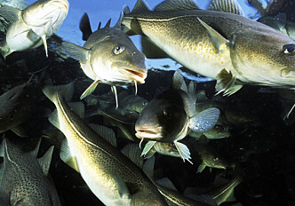 Cod grow larger with more light