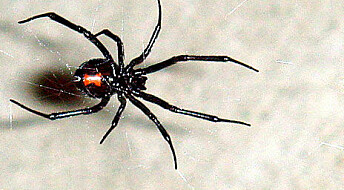 Edderkopper danser for ikke å bli spist