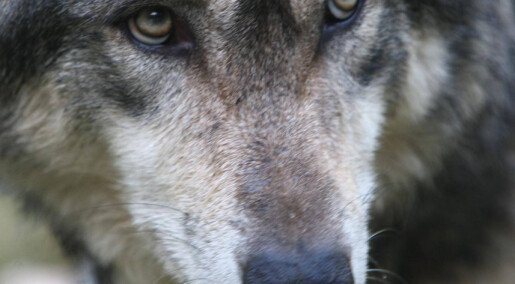 Ulver snakker bedre sammen enn hunder