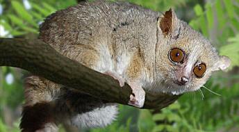 Verdens søteste primat er kannibal