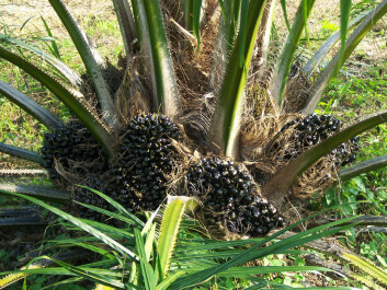 Is oil palm plantations part of the rainforest? (Photo: Colourbox)