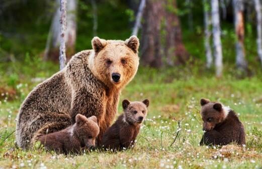 How bears adapt to hunting