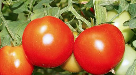 Tomatdyrkere har avlet bort smaken