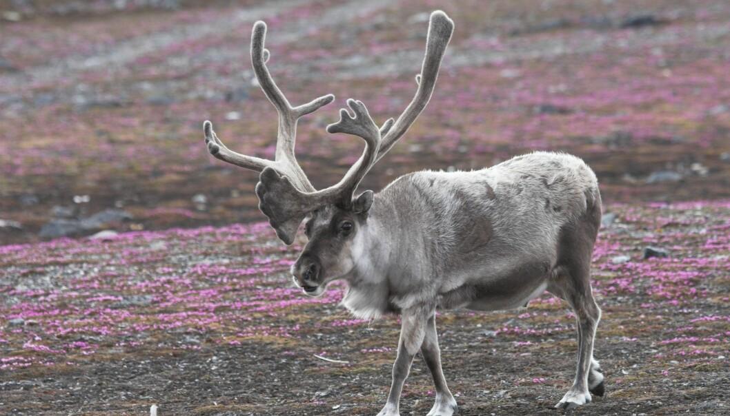 De som spiser mye samisk mat har minst jernmangel