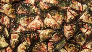 Bringing fish heads and bones back to the dinner table