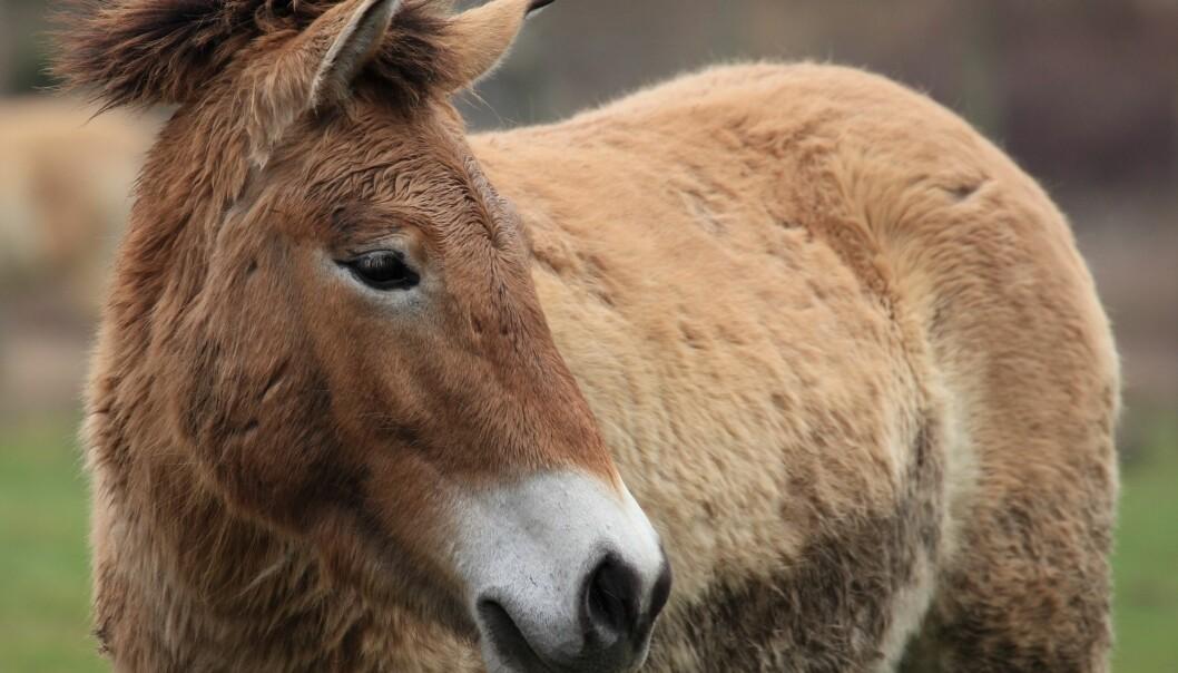 Przewalski-hestene er reddet fra total utryddelse. Det har imidlertid satt seg tydelige spor i arvemassen at de har vært så tett på å dø ut, viser ny dansk forskning. (Illustrasjonsfoto: Microstock)