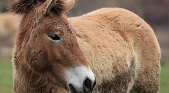 Har studert genene til verdens eneste bestand av ville hester