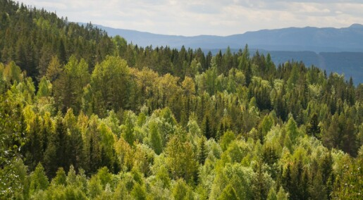 Kronikk: Hva skjer med den rødlistede soppen når skogen endres?