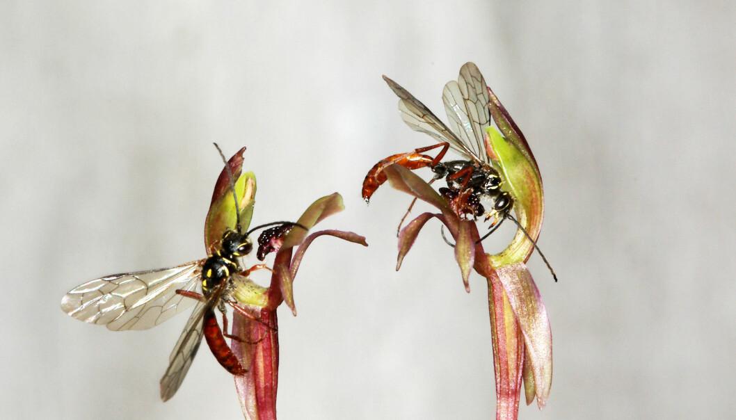 Denne orkidéarten hører sammen med vepsearten som er i blomsten. Forskerne skriver i rapporten at vepsen prøver å ha seg med orkidéen, som etteraper en hunnveps. (Foto: Rod Peakall)