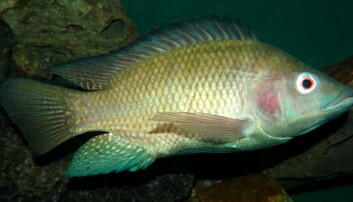 Developing new genomic resources for Nile tilapia fish breeding