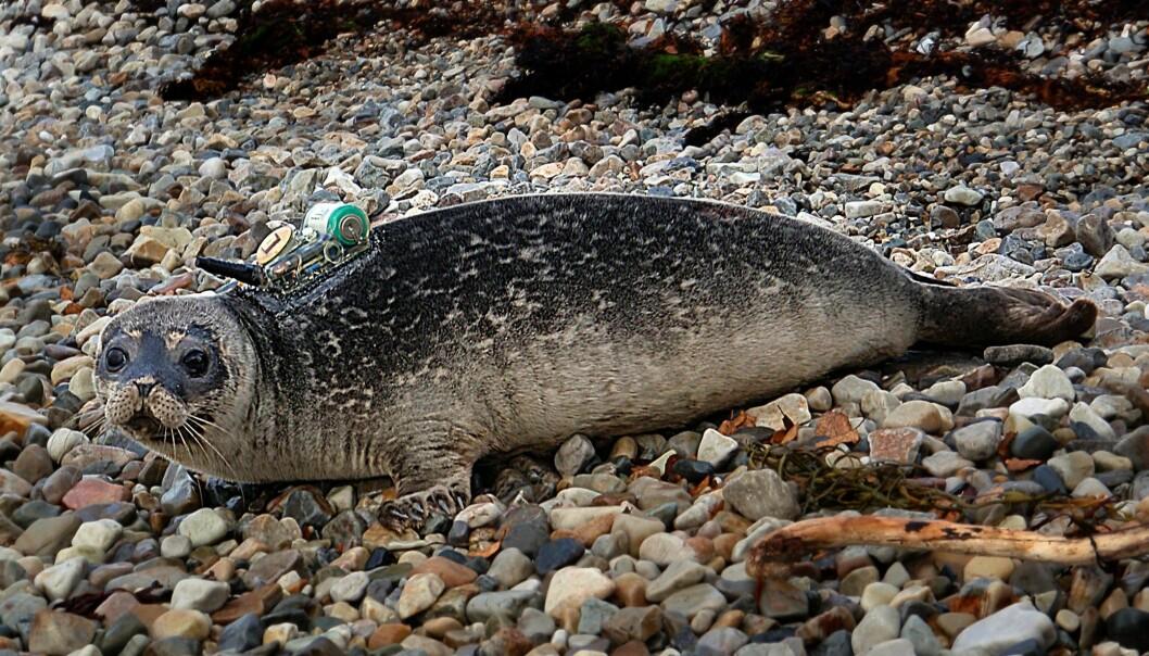 Steinkobben hviler mens den er i vannet, viser ny forskning. (Foto: Michael Poltermann, Havforskningsinstituttet)