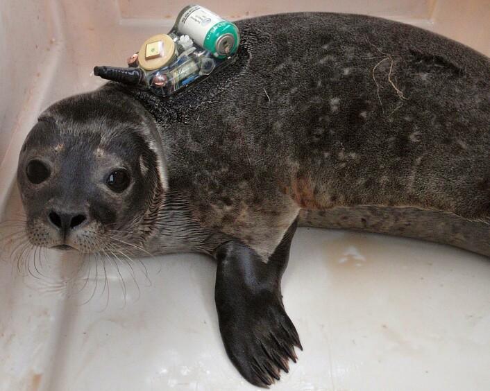 Femten steinkobber ble utstyrt med GPS/GSM–merker i perioden 2009–2013. Utstyret sendte SMS om selenes posisjon og dykkemønster og gjorde det mulig å studere beiteadferden til disse dyrene. (Foto: Michael Poltermann, Havforskningsinstituttet)