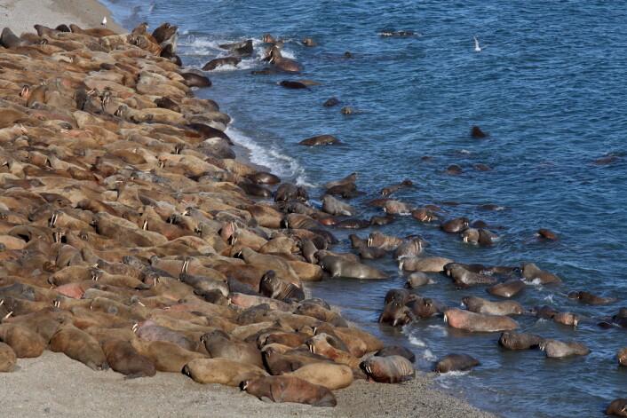Diskobukten på Grønland er et av de områdene der forskerne nå skal kartlegge blynivåene. Her mener de det var veldig gode betingelser for jakt på hvalross i middelalderen.  (Illustrasjonsfoto: Microstock)