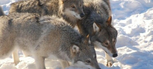 Hund vs. ulv: Hvem er beste problemløser?