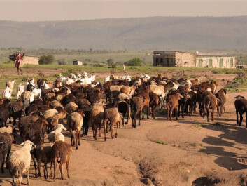 If global warming is stabilised below 1.5°C, the risk of people in developing countries suffering serious harm during heatwaves may be significantly reduced. Furthermore, the risk may be lowered if these countries experience rapid socio-economic development. (Photo of Masai people herding animals: Kathrine Torday Gulden)