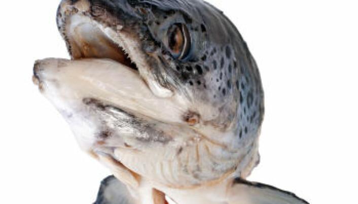Salmon turn dross into gold