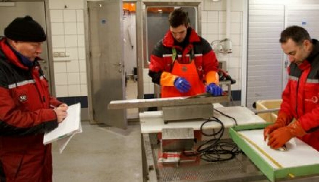 Bjørn-Steinar Sæther, Ronny Jakobsen and Chris Noble in action, looking for injuries on farmed cod. (Photo: Tor Evensen, Nofima)