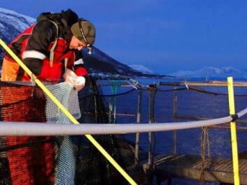 Scientists can now give recommendations on how fish farming industries can improve daily husbandry practices to minimise damage to their fish (Photo: Tor Evensen, Nofima)