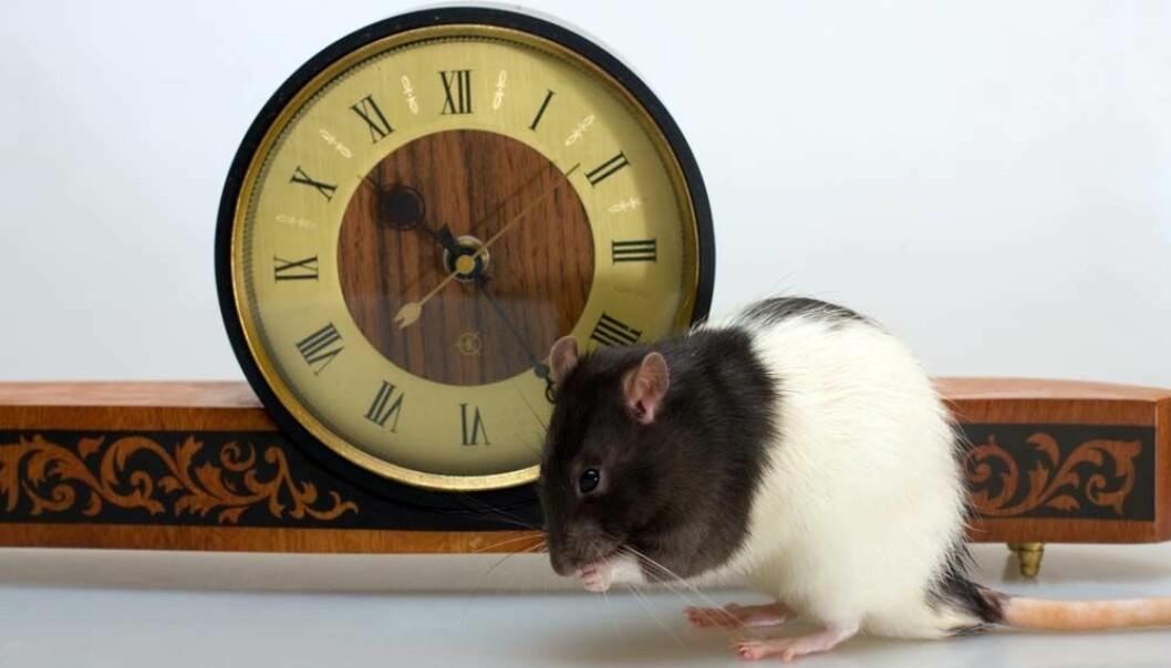 Forskning på rotter viser at organene aldres på ulik måte.  (Illustrasjonsfoto: Microstock)