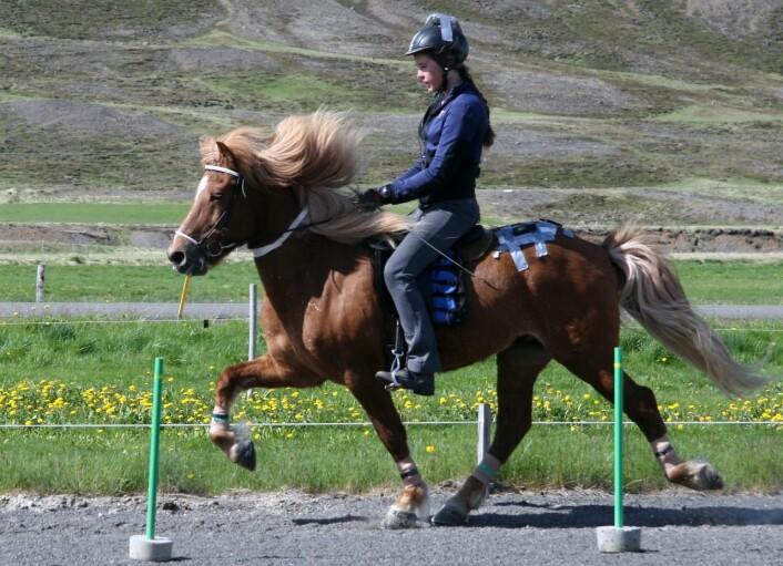 Islandshesten er kjent for sin evne til å tølte og gå i passgang. Her er en hest som tølter. (Foto: Sveinn Ragnarsson)