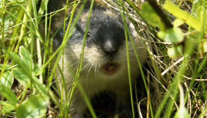 Lemmings' loss is bounty for moss