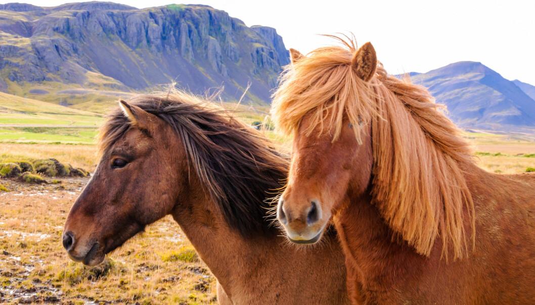 Guðrún Stefánsdóttir har undersøkt hva som skjer med islandshesten når den arbeider. (Illustrasjonsfoto: Microstock)