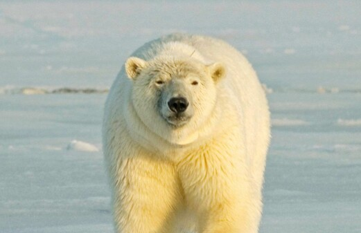 Good news for the polar bear