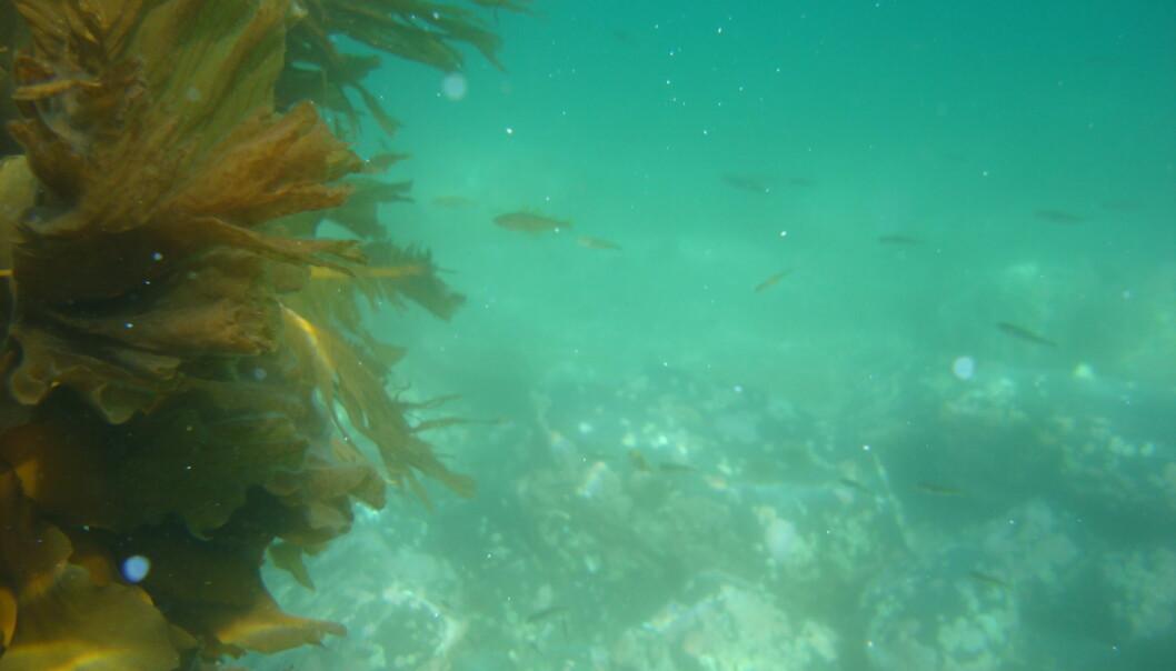Etter kalking på grunt vann i Porsangerfjorden forsvant kråkebollene og algene kom tilbake. Det gjorde også torskeyngelen. (Foto: Hartvig Christie, NIVA)